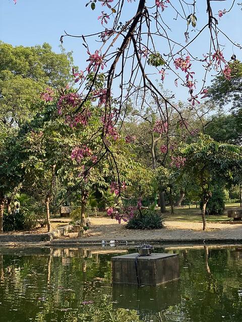 City Season - Floss-Silk Flowers in Bloom, Lodhi Garden Lake