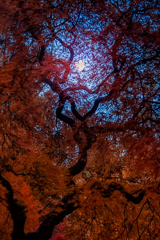 Halloween Moon through a Japanese Maple. Boston, Massachusetts [OC][3000x20000]