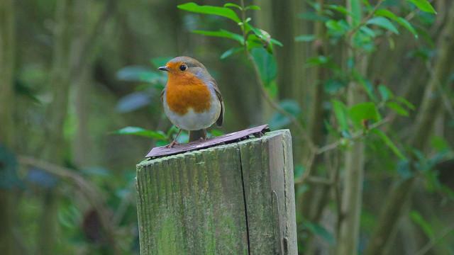 Autumn Robin..