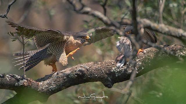 halcon-peregrino-hembra-macho2_NGR9430