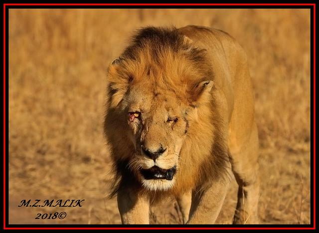 LION KING (Panthera leo).....MASAI MARA......SEPT,2018.