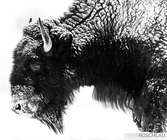 Snowy Bison #explored