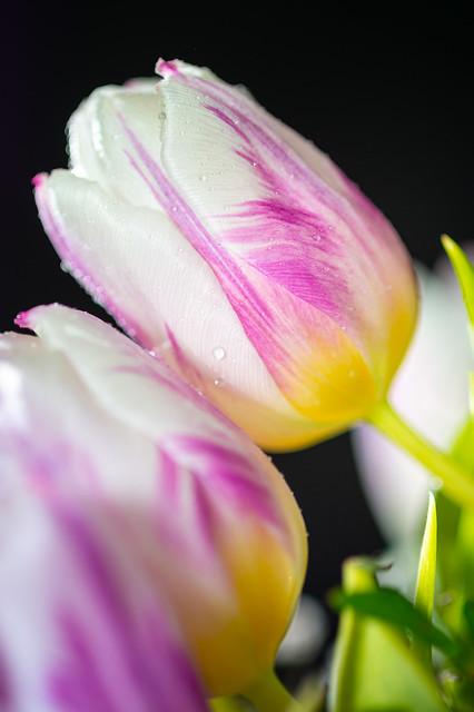 Beautiful tulips ... remembering Spring