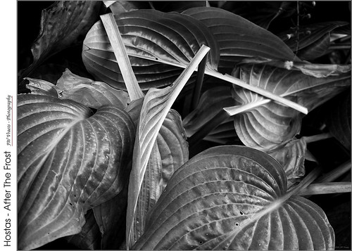 grimsby hostas frost leaves broken monochrome bw blackandwhite opensource rawtherapee gimp olympus omdem5 olympusmzuiko1442mmez13556