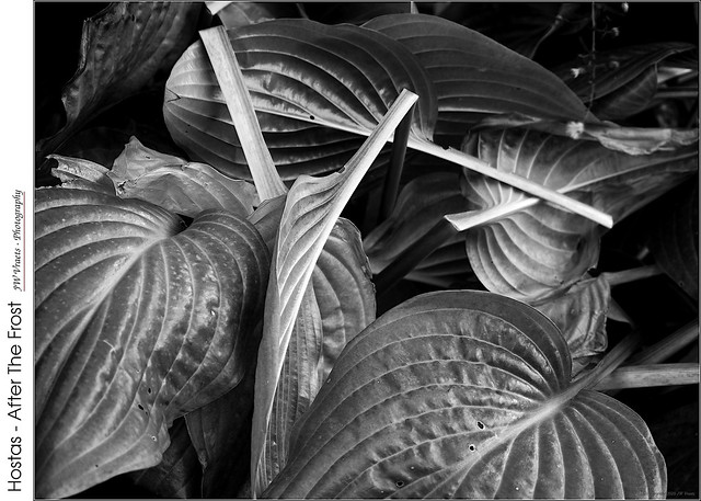 Hostas – After The Frost