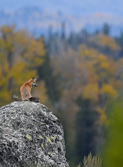 A Fall Foxscape - 2722b+