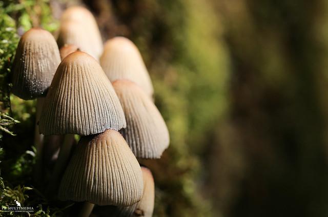 Mica Cap Mushroom