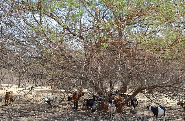 Cabras reposando