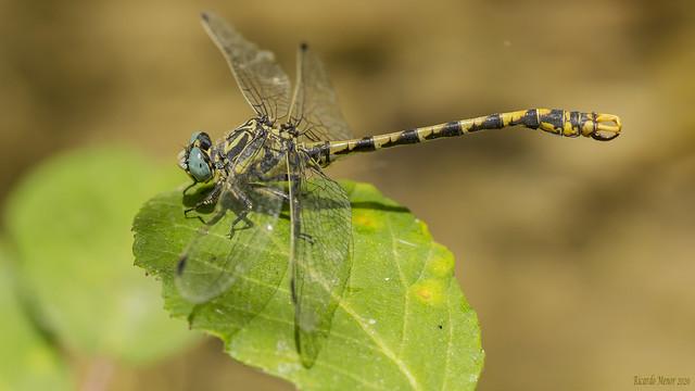 Onychogomphus uncatus. Male