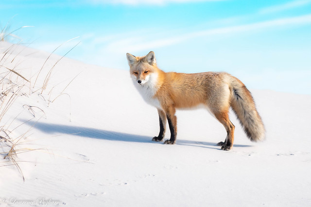 Red fox - New Jersey Shore