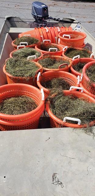 Photo of baskets of widgeon grass