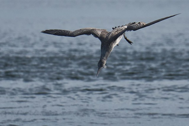 Gannet's doing what gannets do best back in September in  #gannet #northerngannet #seabird #diving #chanonrypoint #nature #wildlife #wildlifephotography #naturephotography #gannetcolony #gannetdive #divinggannets #sea #coast #ukbirdsofinstagram #naturettl