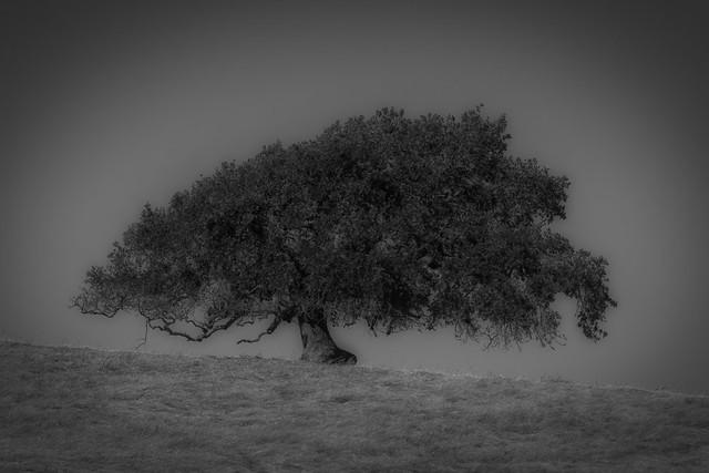 Lone Oak Black and White