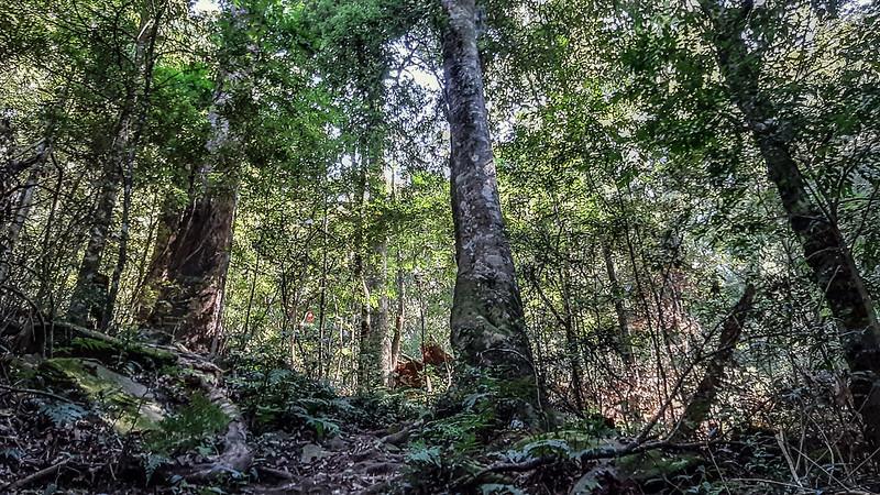 哈堪尼山原始林林相 (1)