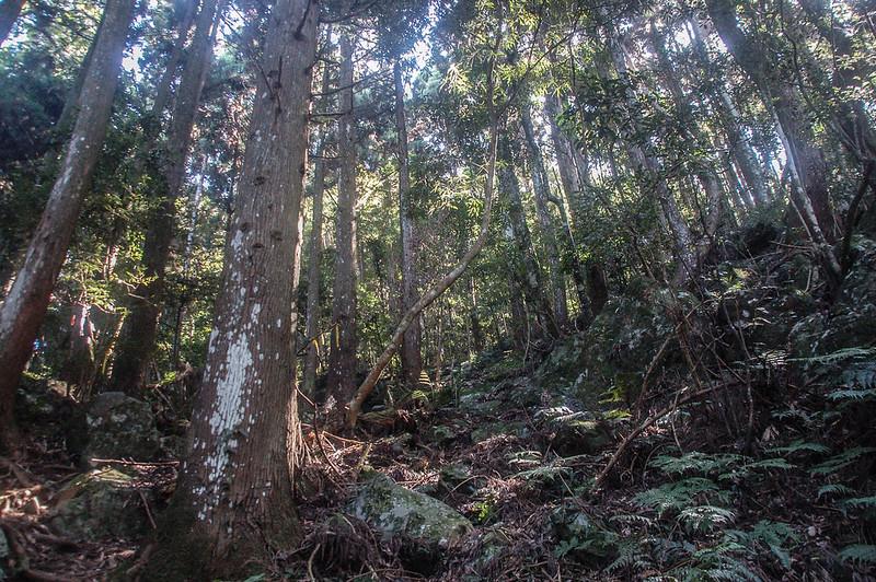 哈堪尼山杉木林林相 (4)