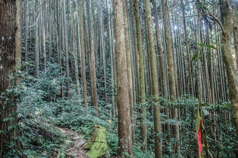 哈堪尼山杉木林林相 (2)