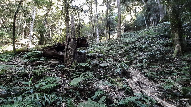 哈堪尼山巨大倒木 (2)
