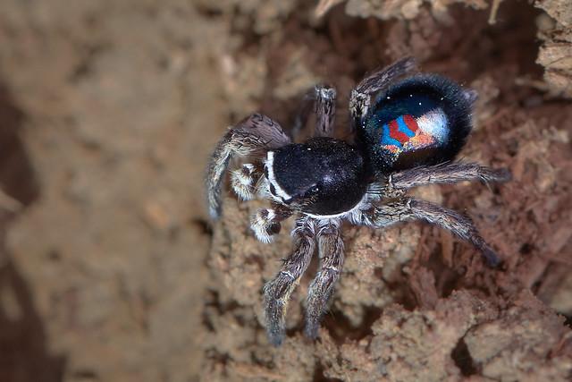 Salticidae, Phlegra sp macho