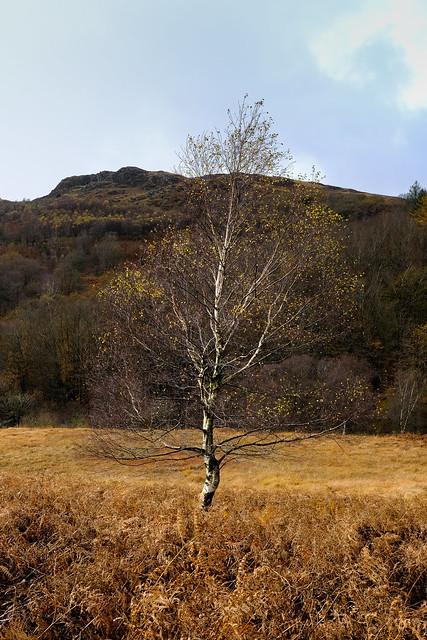 Duddon valley silver birch