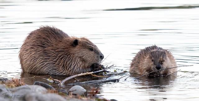 Beaver (Explored 11-2-20)