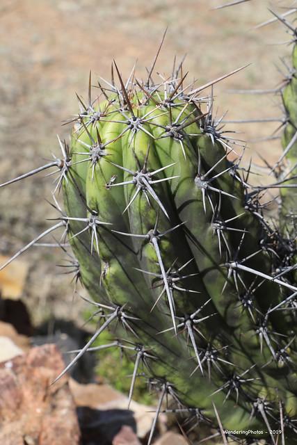 Cactus Spines - Chuquisaca Bolivia