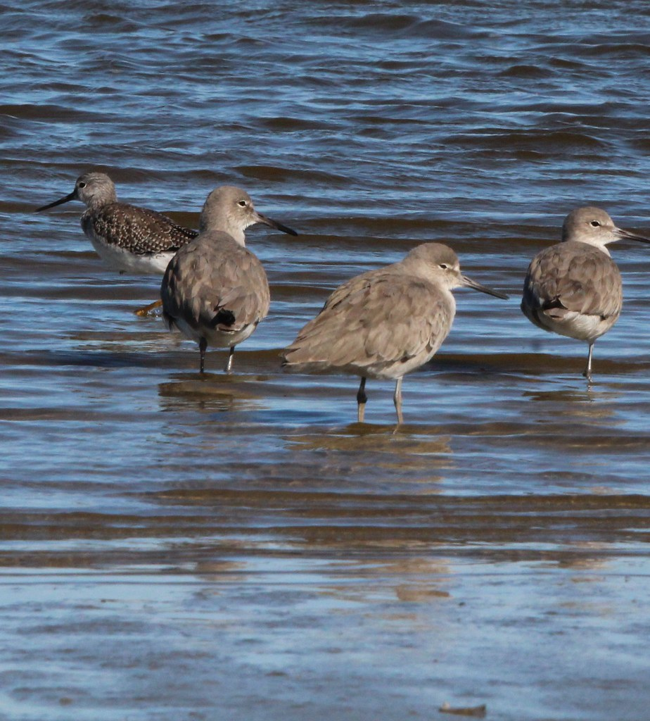 Western Willet and Greater Yellow legs ANAHAUC NWR  -
