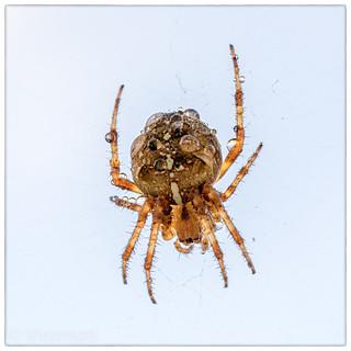 Spider mkIII