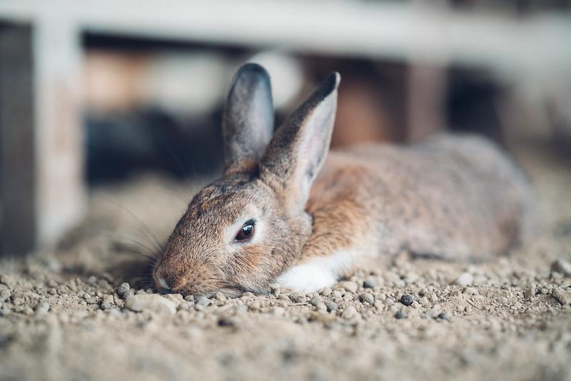 兔|Sigma 85mm Art 020
