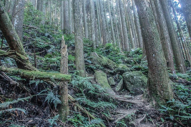 哈堪尼山杉木林林相 (3)