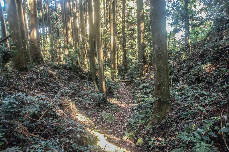 哈堪尼山杉木林林相 (1)
