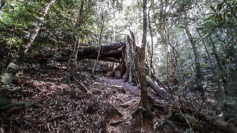 哈堪尼山折腰大倒木