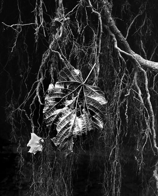 Leaf .. tattered