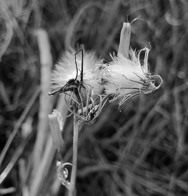 Seed pods open, seeds ready to fly B&W