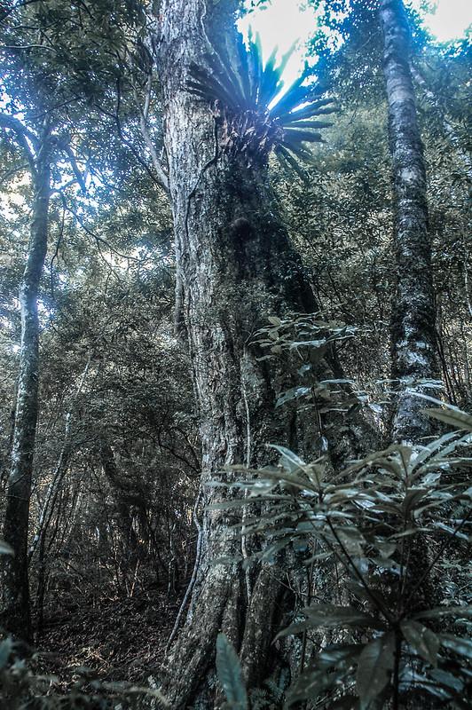 哈堪尼山原始林林相 (2)