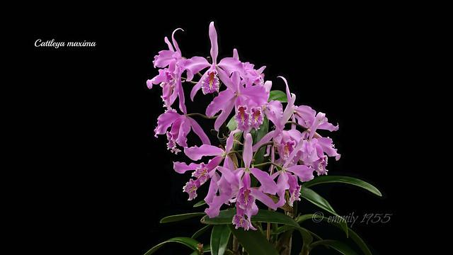 Cattleya maxima tipo