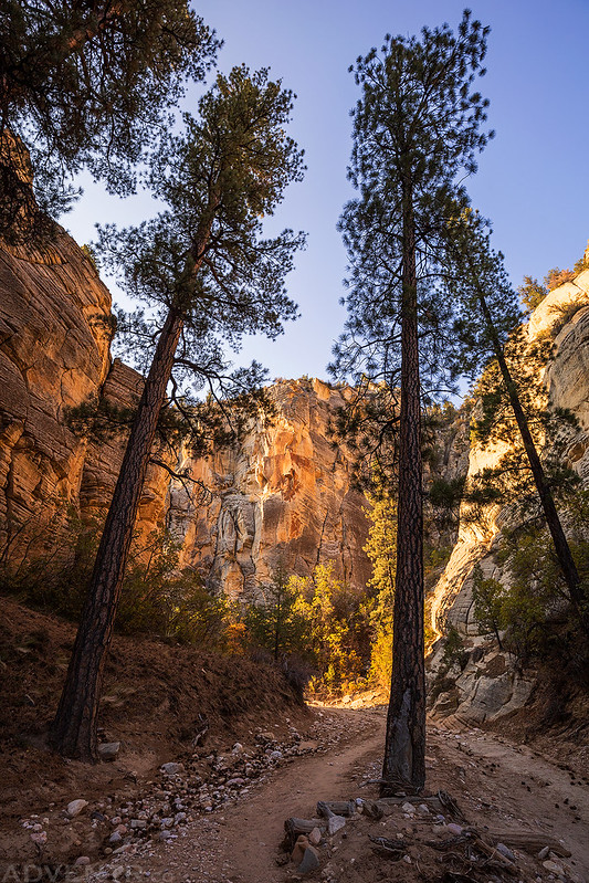 Canyon Trees