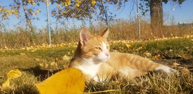 LOST young orange & white tabby cat /kitten in #Inglewood since Oct 30. Call 403-612-7301 if seen/ found. Pls rt, share, watch, help find FRODO! Lost frodo's Oct.30 evening. 6 months Alice bisset place. No tattoo no chip. Please help him find his way back