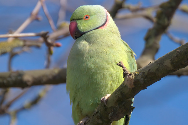 a male rose ringed parakeet