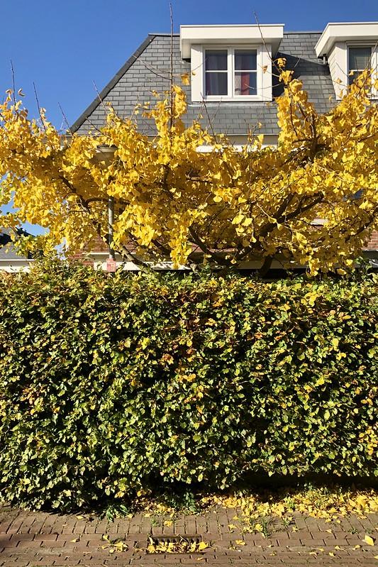 annual golden ginkgo glee