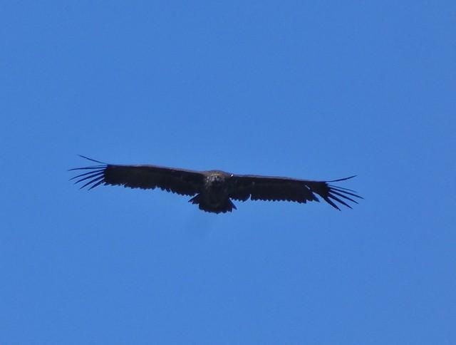 Buitre negro volando sobre el Monte de El Pardo (Madrid)