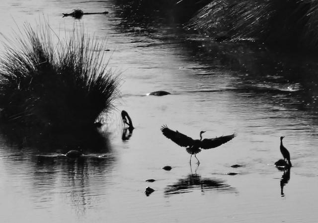 Garzas en el río Manzanares (Monte de El Pardo, Madrid)