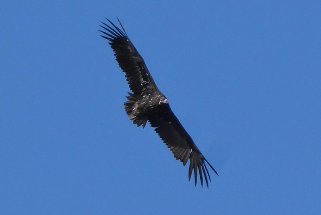 Buitre negro sobrevolando el Monte de El Pardo