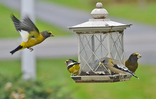 Evening Grosbeak - Webster - © Peggy Mabb - Nov 01, 2020