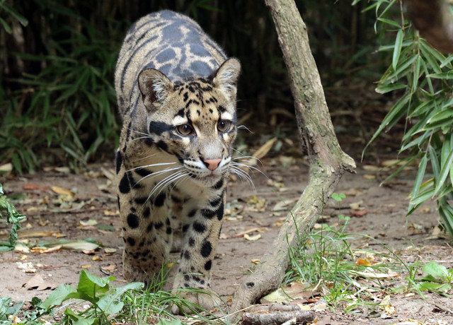 clouded leopard Ouwehand 094A0091