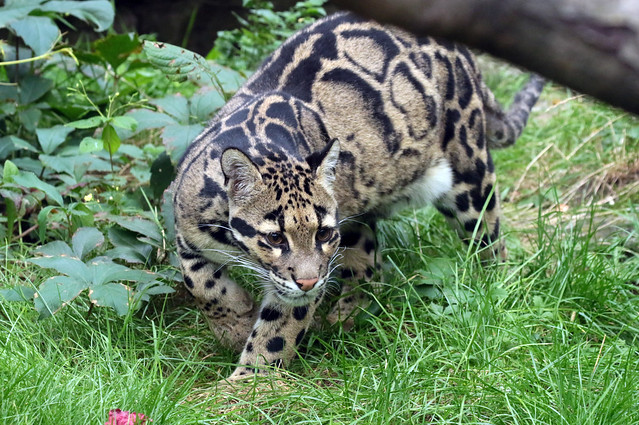 clouded leopard Ouwehand 094A0174