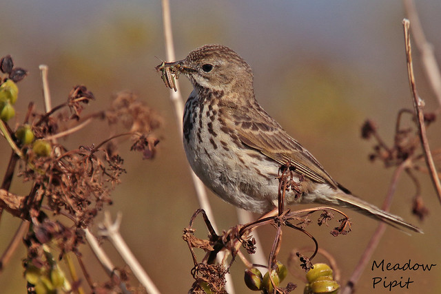 MEADOW PIPIT // ANTHUS PRATENSIS (14cm)
