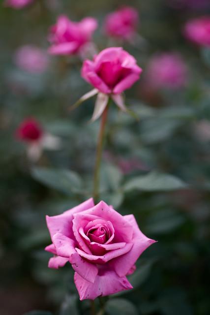 Rose 74
