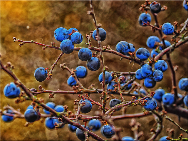 Sloes - fruits of the blackthorn
