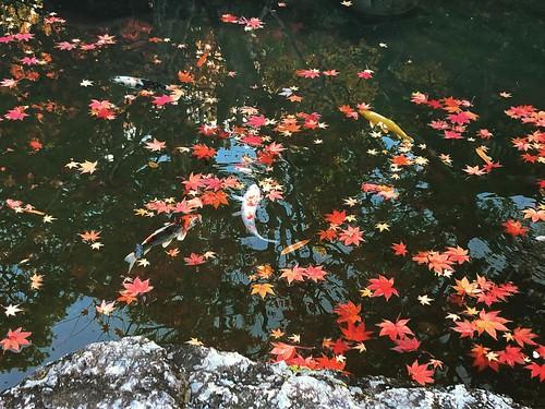 Autumn leaves, maple