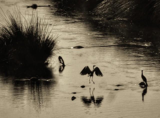 Garzas en el río Manzanares (¿Qué ver en El Pardo?)